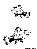 Platy Coloring Page